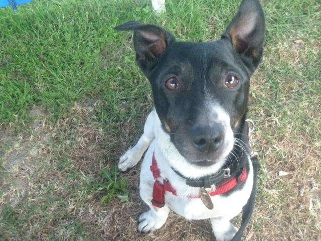 Foster home for Quinn, Jack Russell, DOB 2005 P1060969+%28640x480%29
