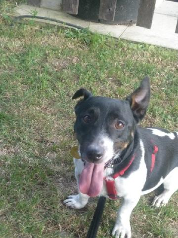 Foster home for Quinn, Jack Russell, DOB 2005 P1060960+%28480x640%29