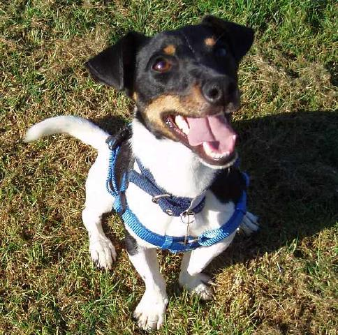 Ronnie, Jack Russell, needs a foster home Ronnie7