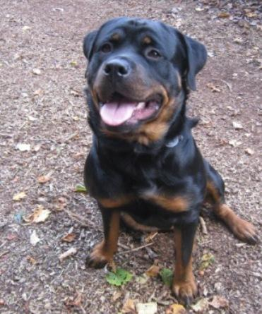 Wendy, Rottweiler, in need of a foster home Wendy