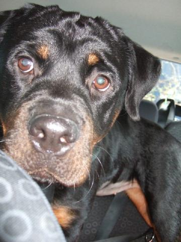 Wendy, Rottweiler, in need of a foster home 078