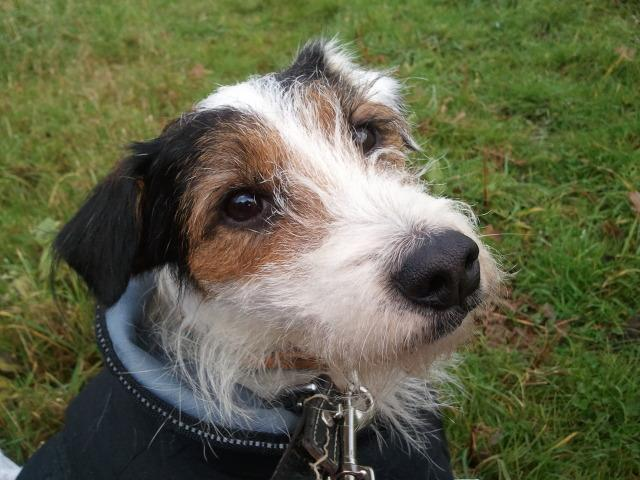 Foster home for Jaycy needed, Fell Terrier x J3