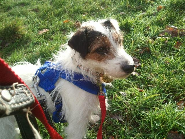 Foster home for Jaycy needed, Fell Terrier x J2
