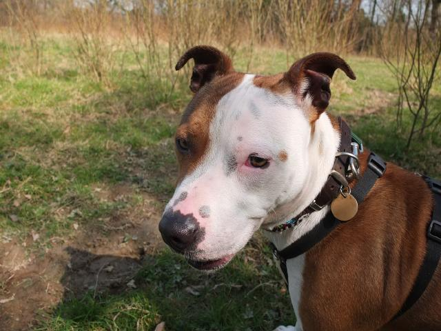 American Bulldog X Kelly needs a foster place, DOB 04.10 DSCF4936Kelly
