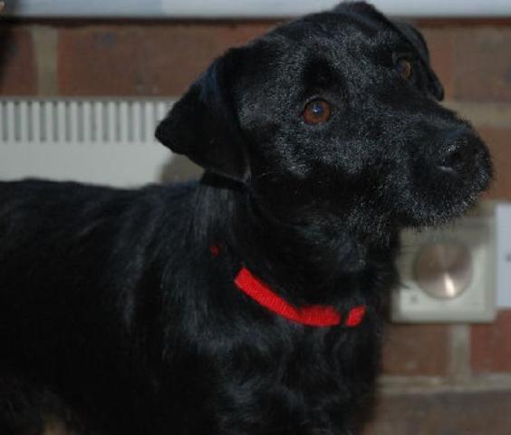 Bowser Patterdale DOB 11 11 Salisbury Wilts OwnHome - Rescue