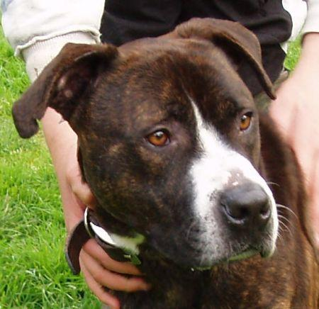 Shadow, Boxer x Staffie, DOB 2007, Gatwick Shadow10
