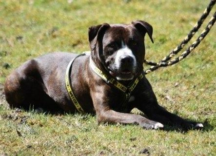 Shadow, Boxer x Staffie, DOB 2007, Gatwick Shadow80